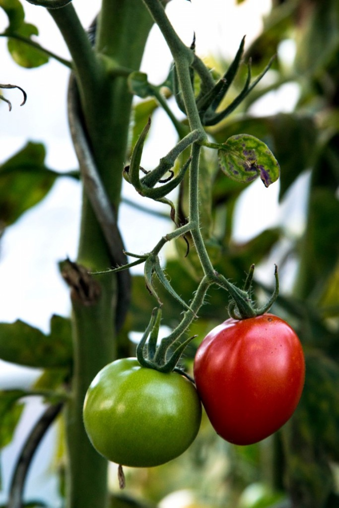 tomatensuppe aus frischen tomaten kaschula. Black Bedroom Furniture Sets. Home Design Ideas