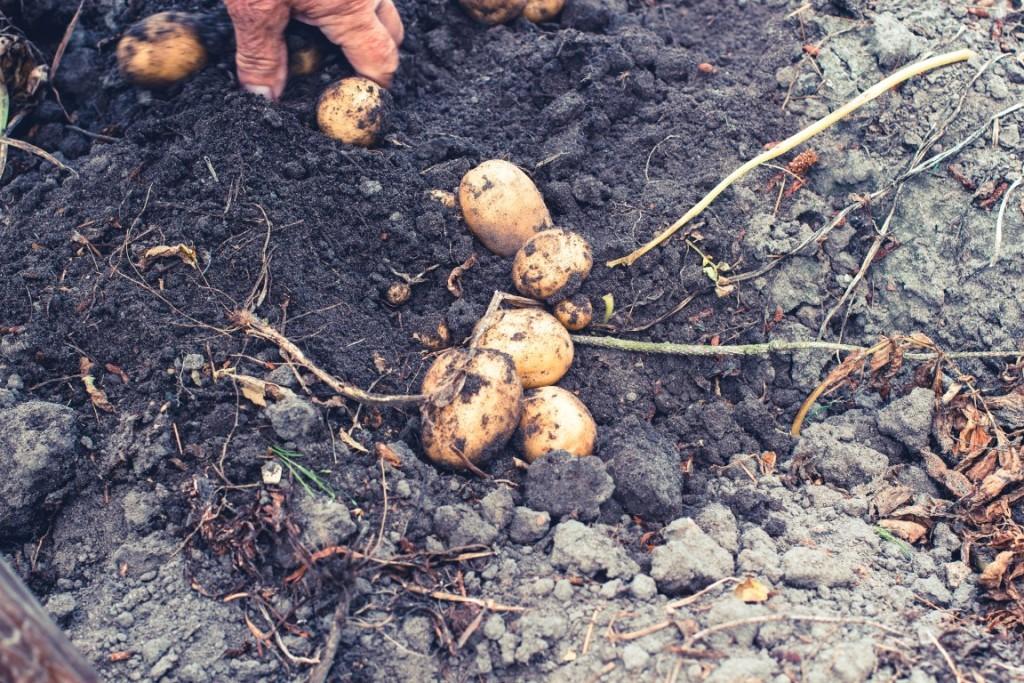 Rezept-Hasselback-Kartoffeln-aus-dem-Backofen-5