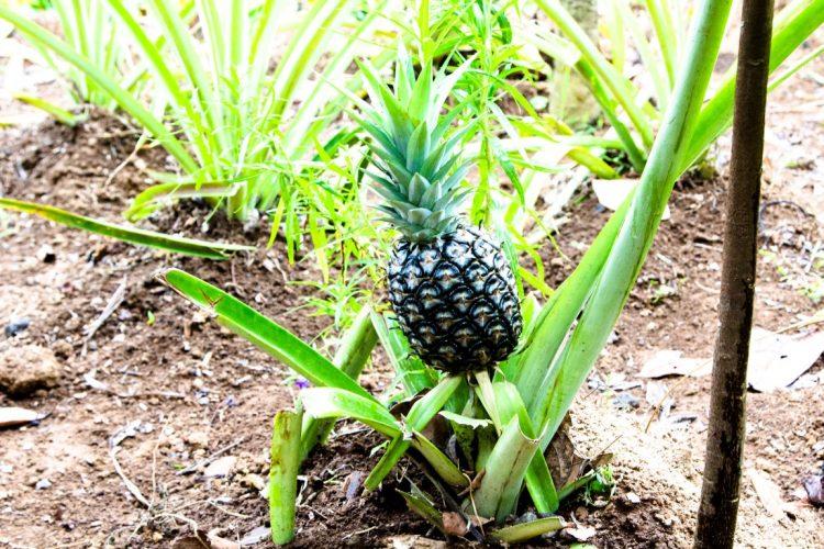 Ananas-Exotische-Früchte-in-Thailand-18-Sorten-die-man-probieren-muss-41