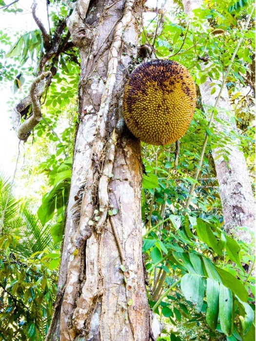 Jackfrucht-Exotische-Früchte-in-Thailand-18-Sorten-die-man-probieren-muss-23a