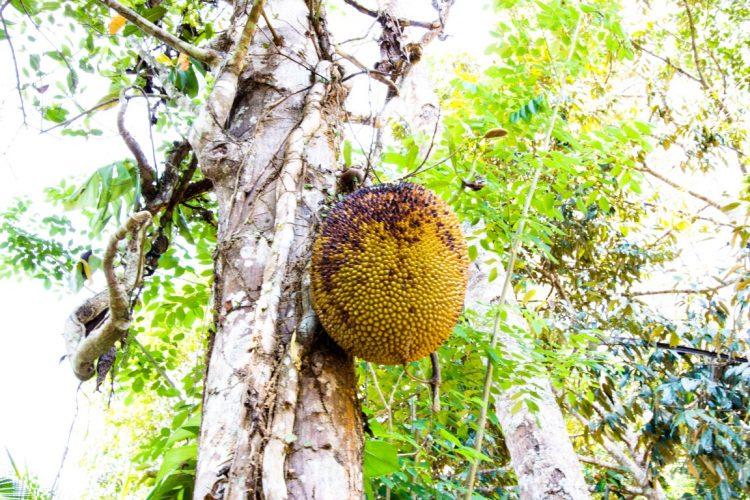 Jackfrucht-Exotische-Früchte-in-Thailand-18-Sorten-die-man-probieren-muss-24