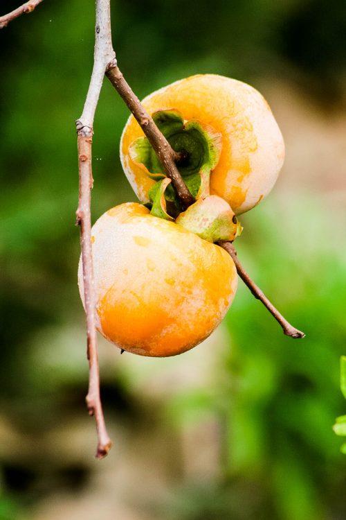Kaki-Exotische-Früchte-in-Thailand-18-Sorten-die-man-probieren-muss-83