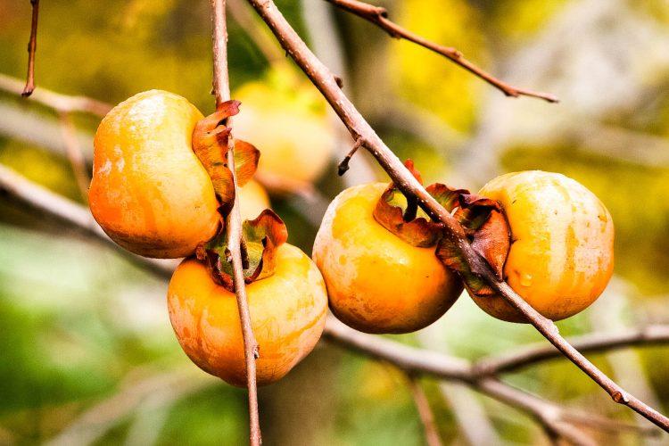 Kaki-Exotische-Früchte-in-Thailand-18-Sorten-die-man-probieren-muss-85