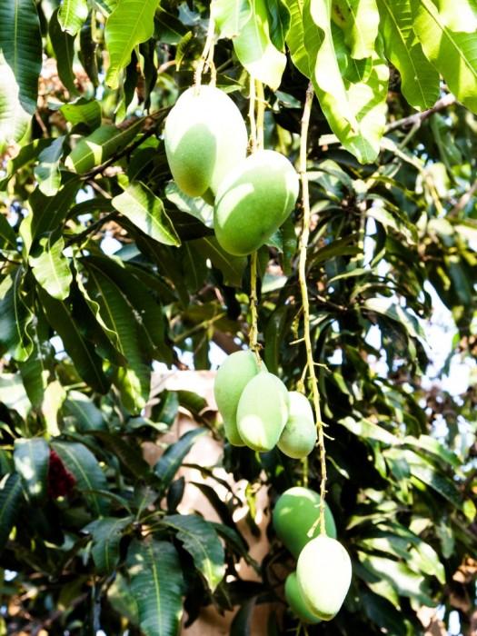 Mango-Exotische-Früchte-in-Thailand-18-Sorten-die-man-probieren-muss-53b