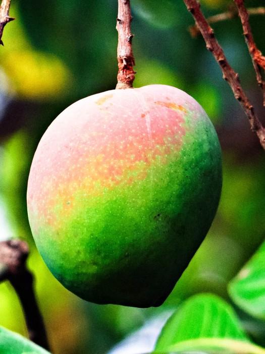 Mango-Exotische-Früchte-in-Thailand-18-Sorten-die-man-probieren-muss-54