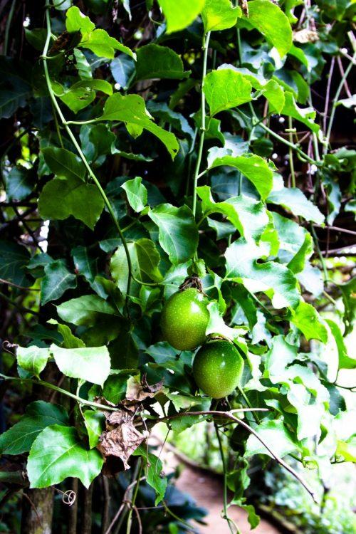 Maracuja-Exotische-Früchte-in-Thailand-18-Sorten-die-man-probieren-muss-37