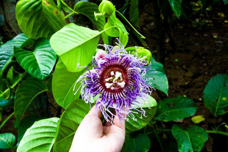 Maracujablüte-Exotische-Früchte-in-Thailand-18-Sorten-die-man-probieren-muss-28