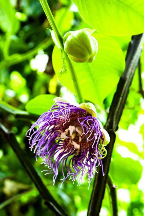 Maracujablüte-Exotische-Früchte-in-Thailand-18-Sorten-die-man-probieren-muss-39