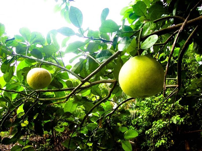 Pomelo-Exotische-Früchte-in-Thailand-18-Sorten-die-man-probieren-muss-58