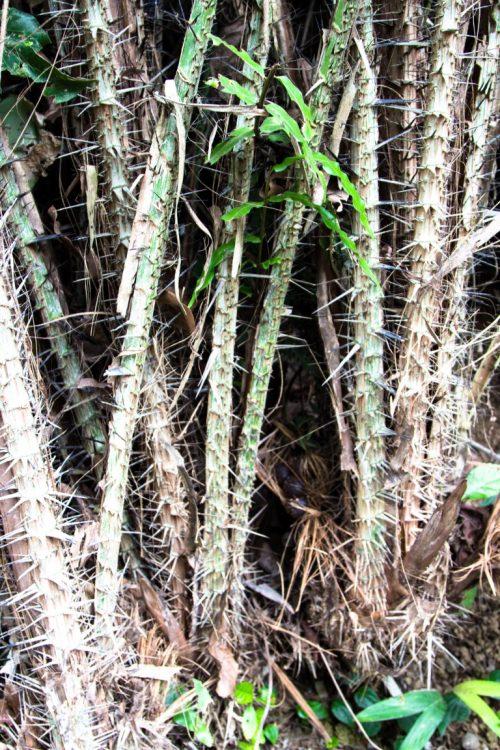 Salak-Schlangenfrucht-Exotische-Früchte-in-Thailand-18-Sorten-die-man-probieren-muss-78